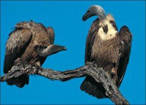 vulture-picture